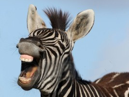 Byron Body and soul  jokes Zebra laughing